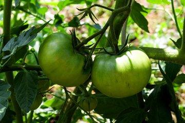 I pomodori verdi non sono un buon alimento per la dieta dei cani