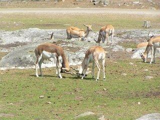 Antilopi in natura