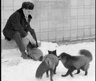 Studio di addomesticamento sulle volpi sulla base delle teorie di addomesticamento del lupo