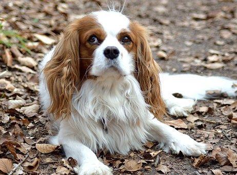 cane di razza piccola. Le ricette per cani di razza piccola devono avere un equilibrio di nutrienti appropriato.