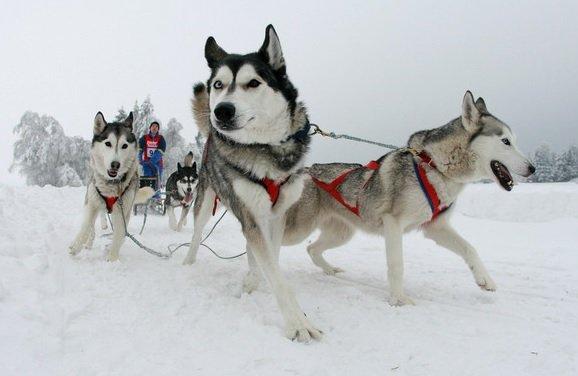 I cani da slitta seguono un addestramento per tirare spingendo sulla pettorina da traino.