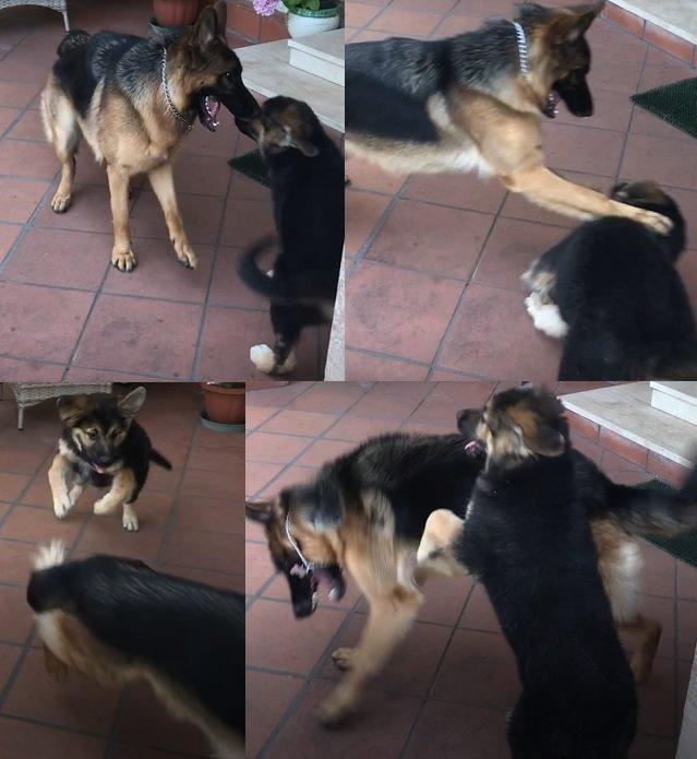 Il cane ringhia anche per gioco