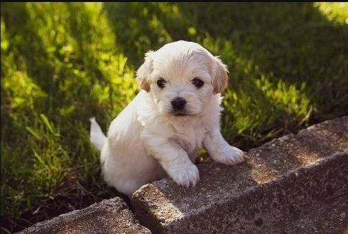Il test Volhard viene eseguito idealmente su cuccioli a 49 giorni (7 settimane).
