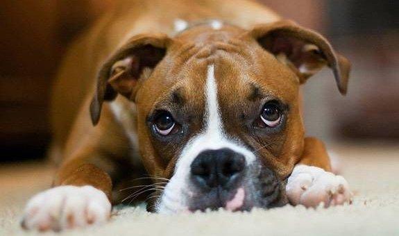 Il cane prova colpa dopo ore dall'aver fatto una marachella?