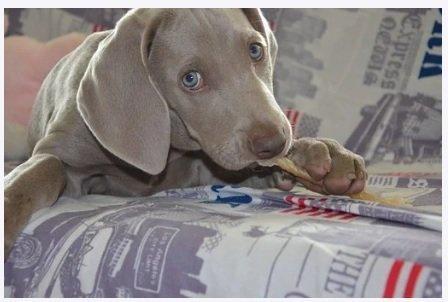 cucciolo morde gli oggetti anche per alleviare i dolori della dentizione